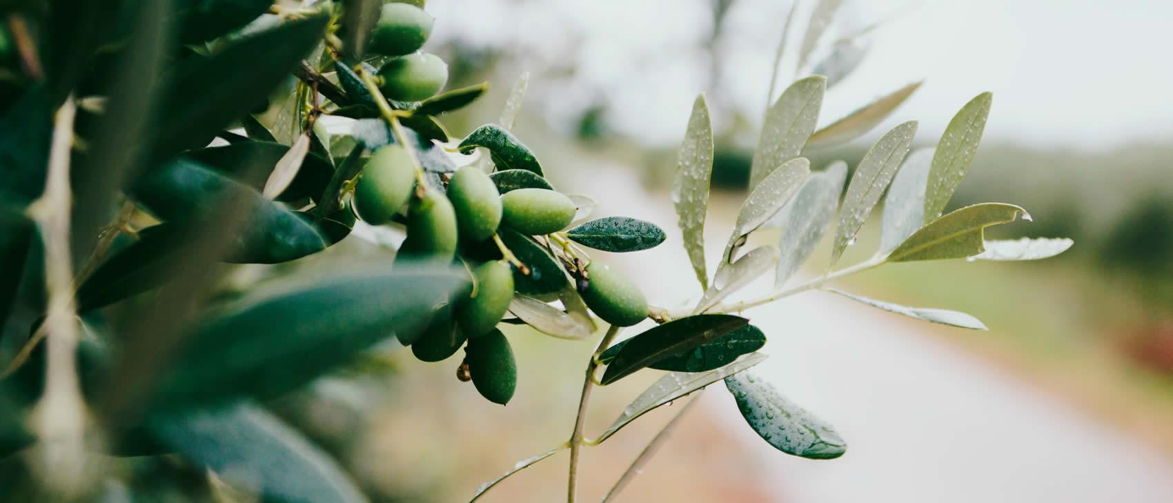 Olivenbaumzweig grün